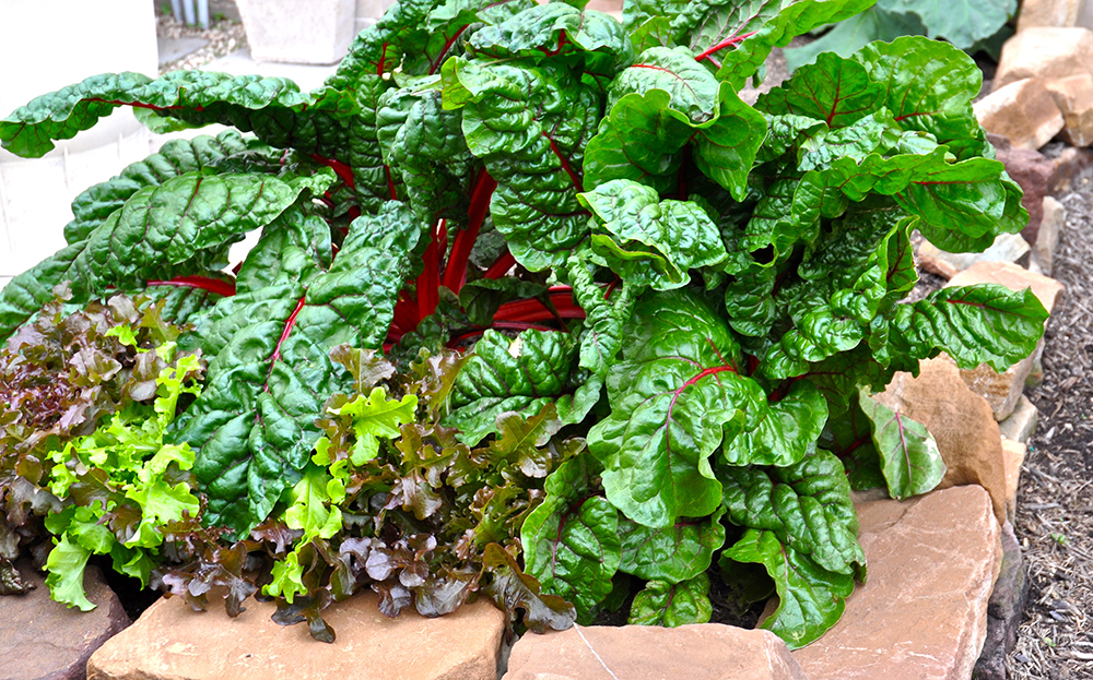 swiss-chard-backyard-garden