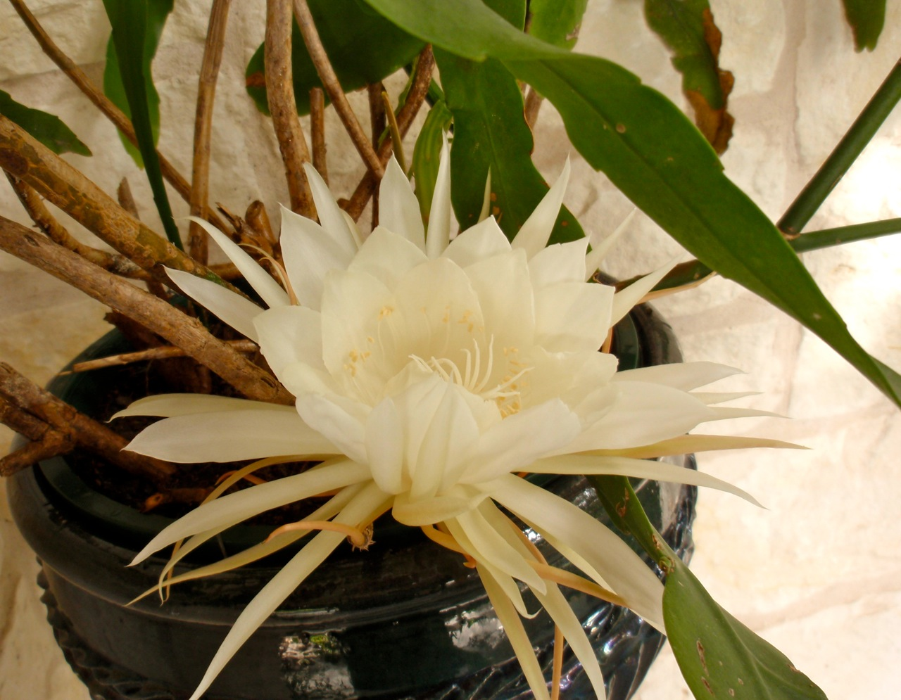 Night blooming cereus archives dianas designs austin even though the foliage is less than attractive at times when it blooms this night blooming cereus is stunning sadly you have to catch it late at night mightylinksfo