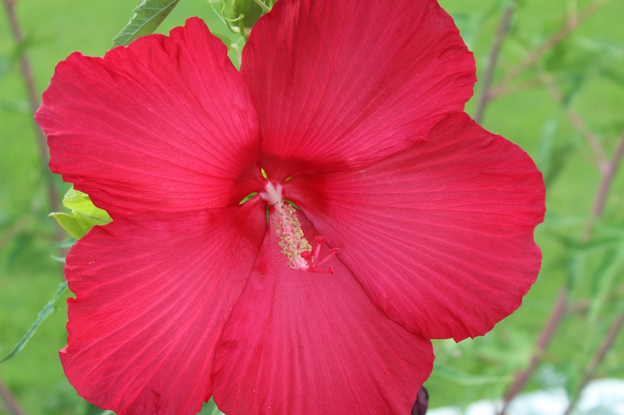 The Moy Grande hibiscus with it\u0027s paper-plate-sized blooms has at least a few blooms every day. & Moy Grande hibiscus Archives | Diana\u0027s Designs Austin