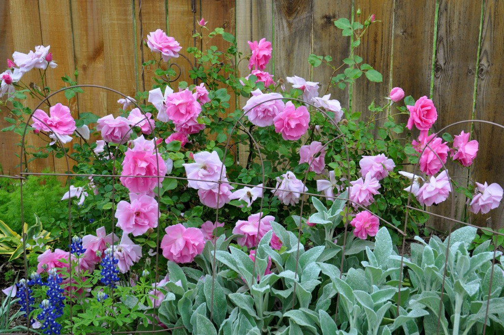 December Tip Plant Bare Root Roses Now Diana S Designs Austin