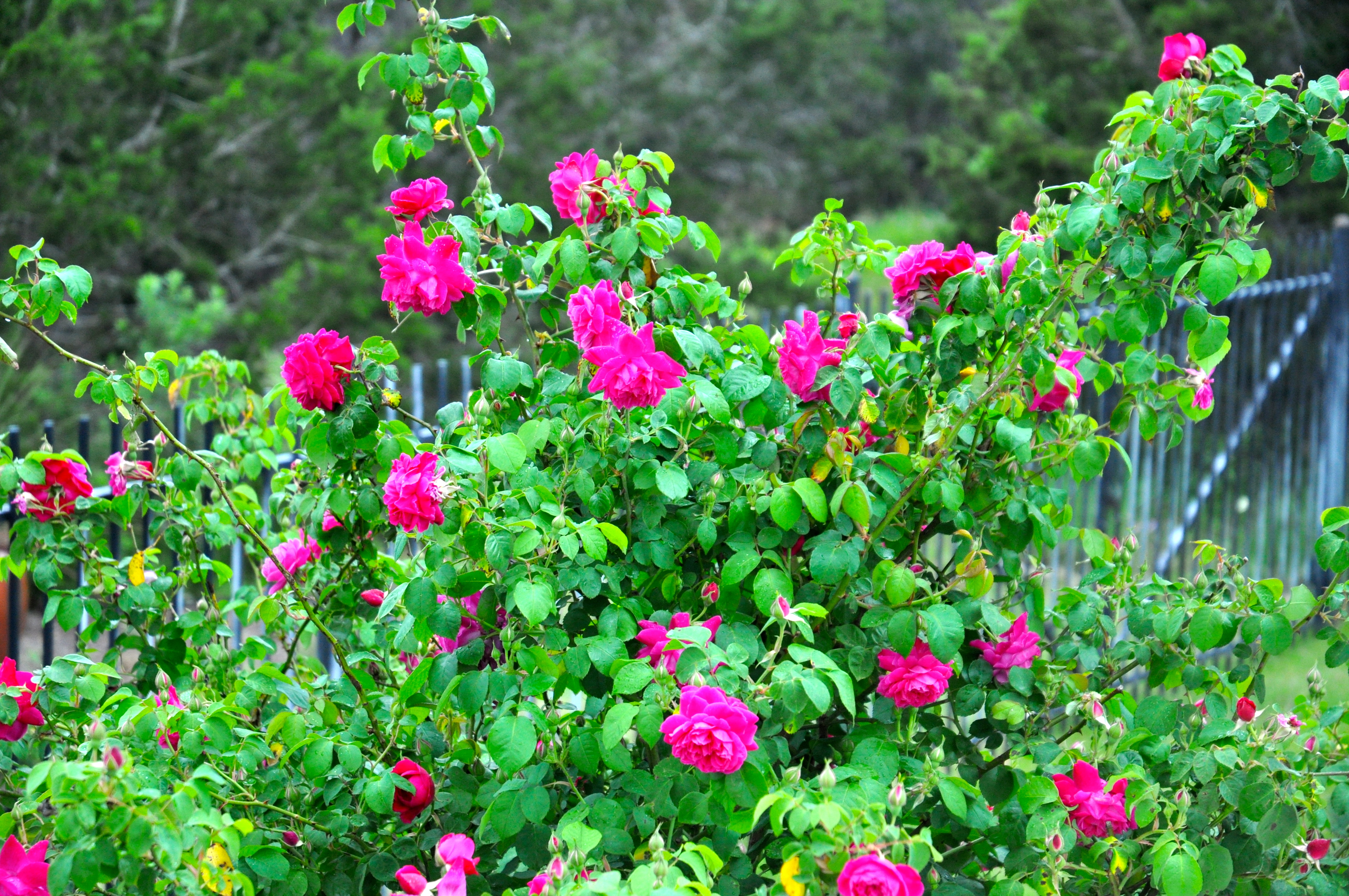 Plant bare root roses now for spring blooms diana 39 s designs austin - Planting rose shrub step ...
