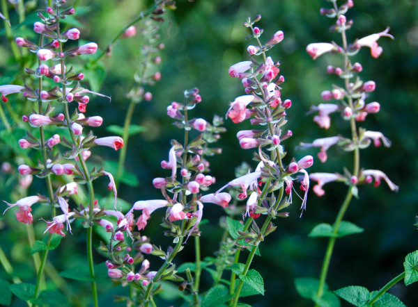 Drought-Resistant Salvia