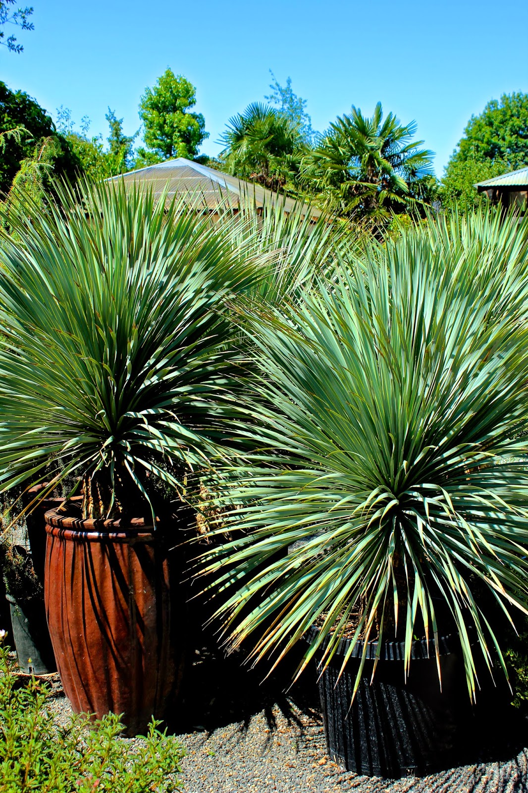There Were Many Familiar Plants At The Nursery Like These Yucca Rostrata Which Grow Hily Home In Austin Texas
