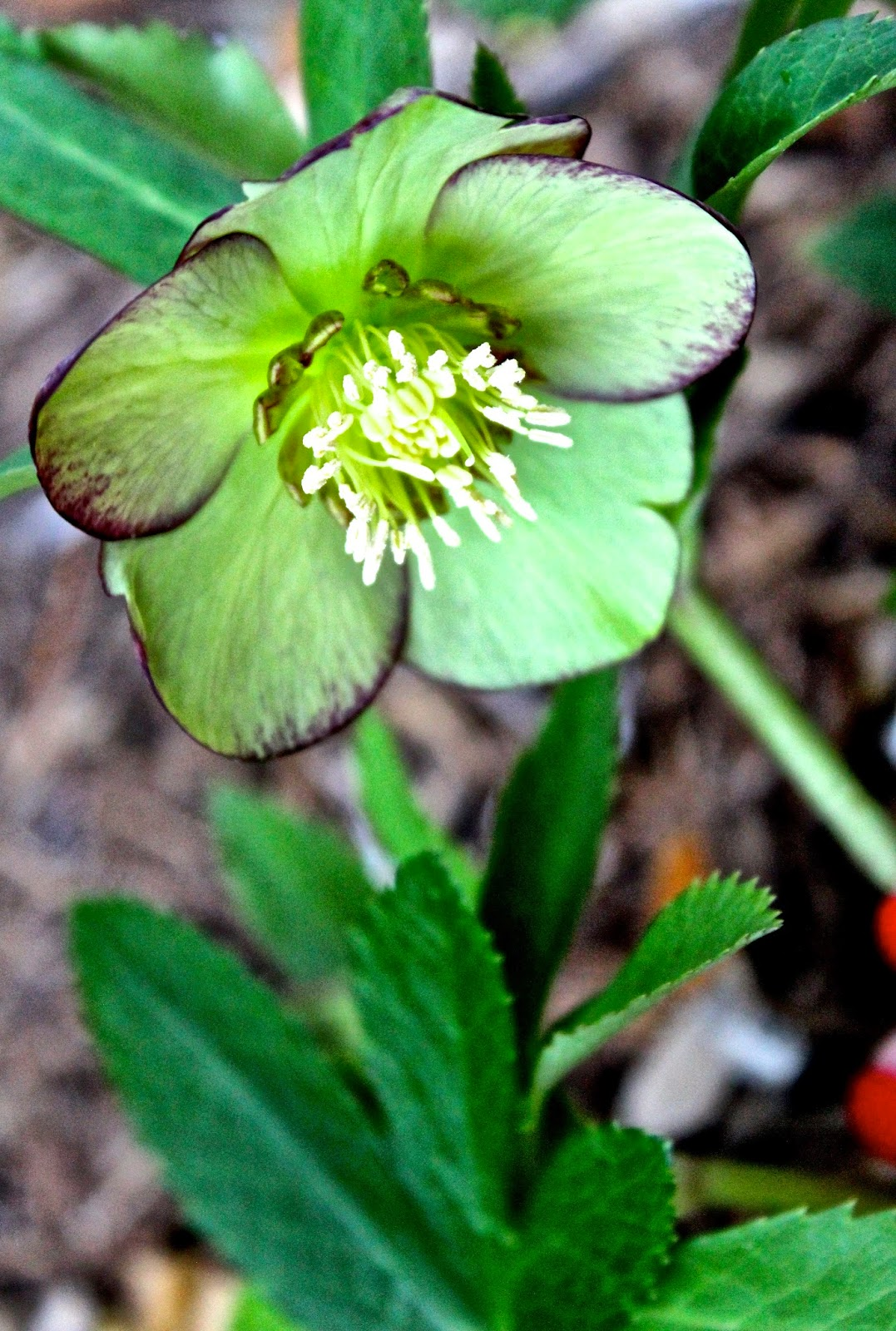 winter garden blooms the hellebores are back with a flair