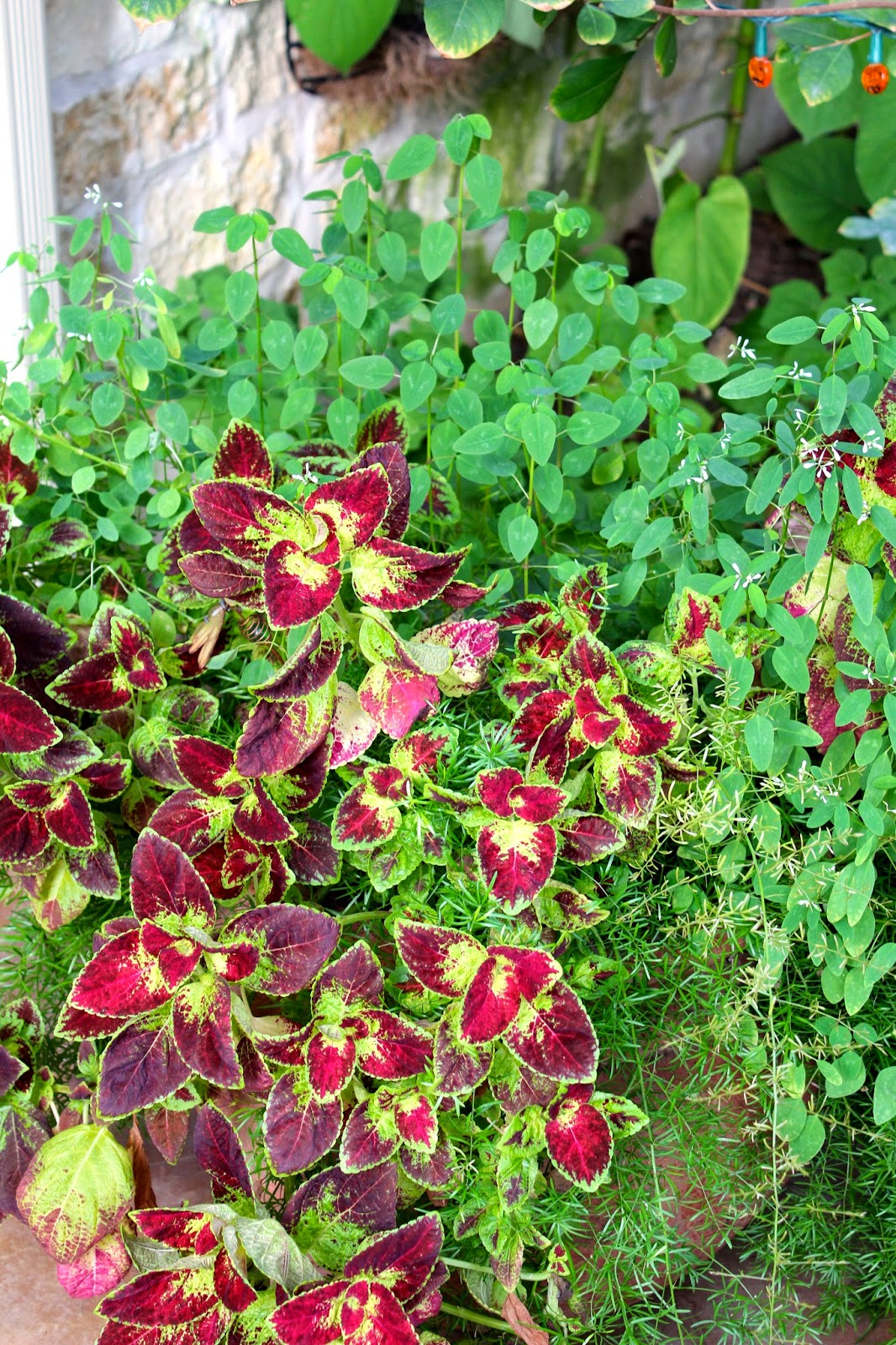 While Most Coleus Are Shade Plants There New Sun Loving Varieties That You Can Use In Sunny Spots